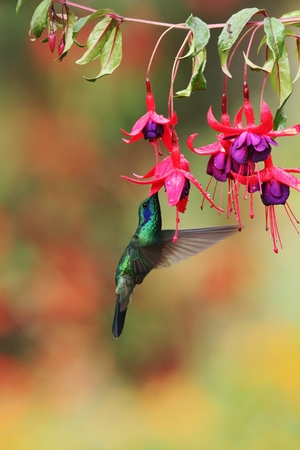 Green violetear, Colibri thalassinus, hovering next to red flower in garden, bird from mountain tropical forest, Savegre, Costa Rica, natural habitat, beautiful hummingbird, colourful background Foto de archivo