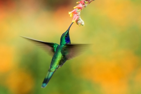 Green violetear, Colibri thalassinus, hovering next to red flower in garden, bird from mountain tropical forest, , Mexico, natural habitat, beautiful hummingbird, colourful and clear background 写真素材