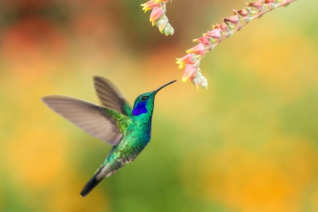 Green violetear, Colibri thalassinus, hovering next to red flower in garden, bird from mountain tropical forest, , Mexico, natural habitat, beautiful hummingbird, colourful and clear background Stok Fotoğraf