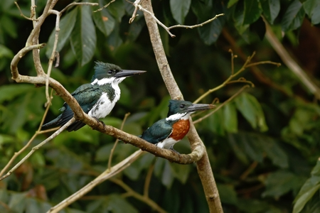 Amazon Kingfisher - Chloroceryle amazona, male and female, sitting on branch in its natural enviroment next to river, green leaves in background, bird after hunt in Costa Rica