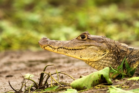 Spectacled Caiman - Caiman crocodilus lying on river bank in Cano Negro, Costa Rica, big reptile in awamp, close-up crocodille portrait, dangerous hunter resting on shore