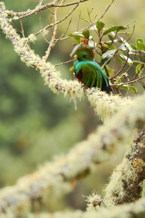 Resplendent Quetzal, Pharomachrus mocinno, Savegre in Costa Rica, with green forest in background. Magnificent sacred green and red bird. Beutiful and magnificent bird Stock Photo