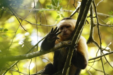 White-headed Capuchin sitting on tree branch in tropical rain forest, Costa Rica, Central America, cute black and white monkey in natural environment, wildlife