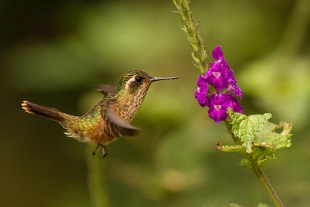 Speckled Hummingbird, Adelomyia melanogenys hovering next to violet flower, bird from tropical forest, Manu national park, Peru, hummingbird perching on flower, enough space in green background, tiny