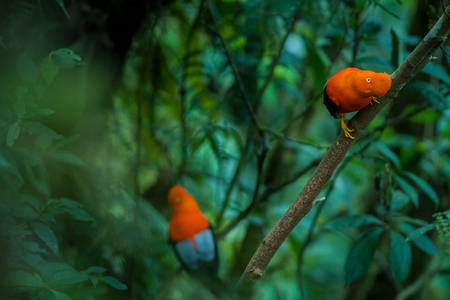 Two males of Andean Cock-of-the-rock (Rupicola peruvianus) lekking and dyplaing in front of females, typical mating behaviour, beautiful orange bird in its natural enviroment, amazonian rain forest, Brazil Stock Photo
