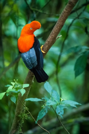 Male of Andean Cock-of-the-rock (Rupicola peruvianus) lekking and dyplaing in front of females, typical mating behaviour, beautiful orange bird in its natural enviroment, amazonian rain forest, Brazil Imagens