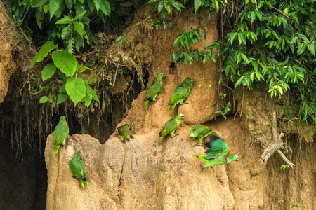 Green parrots on clay lick eating minerals, Green amazons in tropical forest, Brazil, Wildlife scene from tropical nature. Flock of birds on clay brown wall eating clay with minerals