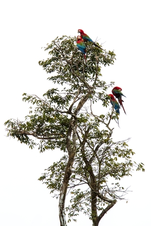 Red-and-green macaws (Ara chloropterus) grooming its feathers on tree in Manu National Park, Peru, beautiful birds in amazon rain forest, beautiful parrots, wildlife scene from nature 写真素材