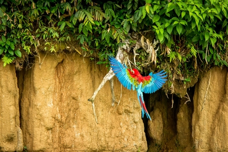 Red parrot in flight. Macaw flying, green vegetation in background. Red and green Macaw in tropical forest, Brazil, Wildlife scene from tropical nature. Beautiful bird in the forest.
