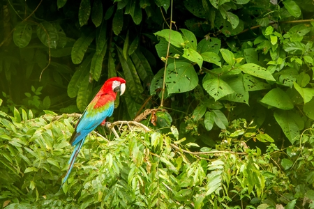 Red parrot in perching on branch, green vegetation in background. Red and green Macaw in tropical forest, Peru, Wildlife scene from tropical nature. Beautiful bird in the jungle. 스톡 콘텐츠