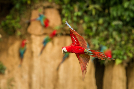 Red parrot in flight. Macaw flying, green vegetation and brown clay lick in background. Red and green Macaw in tropical forest, Peru, Wildlife scene from tropical nature. Beautiful bird in the forest.