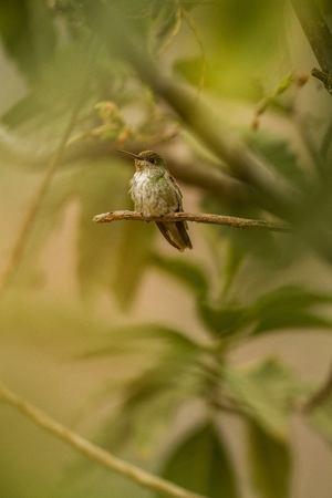 Green-and-white Hummingbird - Amazilia viridicauda, sitting on branch, bird from Peru, beautiful hummingbird sucking nectar from blossom, wildlife scenery from nature Foto de archivo