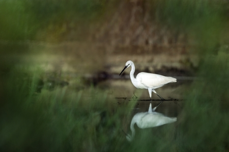 Snowy Egret, Egretta thula, in the nature coast habitat in the morning sunrise, Trinidad and Tobago. dark background, reflection on water, elegant bird hunting in calm water, mirror, Caribbean nature