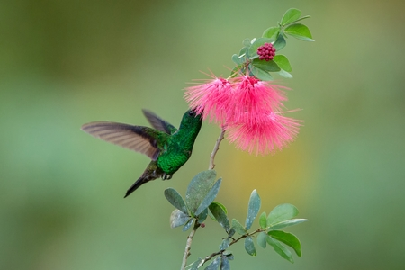 Copper-rumped Hummingbird hovering next to pink mimosa flower, bird in flight, caribean tropical forest, Trinidad and Tobago, natural habitat, hummingbird sucking nectar, colouful background Фото со стока