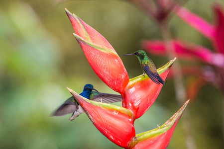 Hummingbird (Copper-rumped Hummingbird) sitting on red flower and second bird hovering next to it. Cute tiny bird perching on big blossom, green background, wildlife scene from nature, Caribean nature
