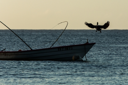 Brown Pelican, Pelecanus occidentalis flying with outstretched wings and landing on boat of fishermen, Tobago island. Wildlife scene from Caribean nature, exotic adventure, bird silhouette during dusk