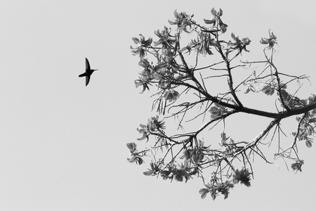 Silhouette of white-necked jacobin hovering next to flower, bird in flight, caribean tropical forest,Trinidad and Tobago, natural habitat,hummingbird sucking nectar, black and white photo