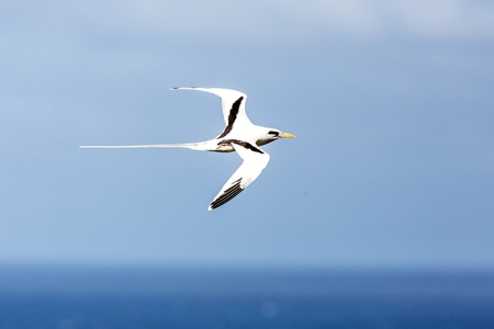 Yellow-billed Tropicbird (Phaethon lepturus) flying over the Pacific ocean near Galapagos Islands, beautiful white bird with sea and cliffs in background, elegant bird with long tail