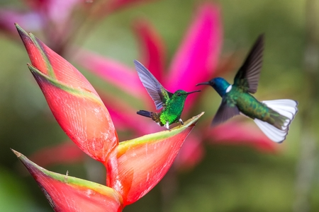 Hummingbird (Copper-rumped Hummingbird and white-necked jacobin) fighting on red flower. , green background, wildlife scene from nature, exotic adventure in Caribic