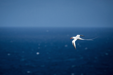 Yellow-billed Tropicbird (Phaethon lepturus) flying over the Pacific ocean near Galapagos Islands, beautiful white bird with sea and cliffs in background, elegant bird with long tail Stock Photo - 116848360