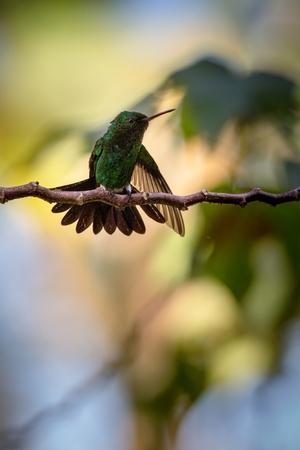 Hummingbird (Copper-rumped Hummingbird)  sitting on branch, bird from caribean tropical forest, Trinidad and Tobago, beautiful tiny hummingbird, exotic adventure