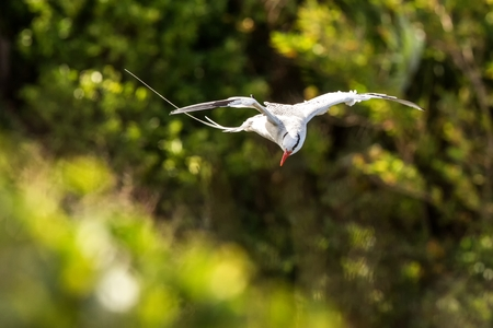 Red-billed tropicbird (Phaethon aethereus) flying over the Pacific ocean near Tobago Island, beautiful white bird with greem leaves in background, bird in natural enviroment, elegant bird with long tail Stock Photo