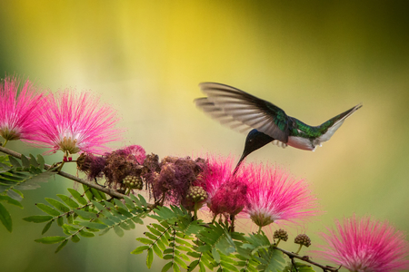 White-necked jacobin hovering next to pink mimosa flower, bird in flight, caribean tropical forest,Trinidad and Tobago, natural habitat,hummingbird sucking nectar, colouful yellow and green background