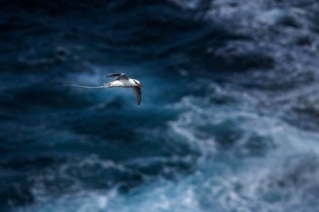 Red-billed Tropicbird (Phaethon aethereus) flying over the Pacific ocean near Galapagos Islands, beautiful white bird with sea and cliffs in background, elegant bird with long tail Stock Photo