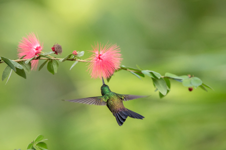 Copper-rumped Hummingbird hovering next to pink mimosa flower, bird in flight, caribean tropical forest, Trinidad and Tobago, natural habitat, hummingbird sucking nectar, colouful background Banco de Imagens