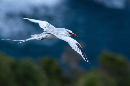 Red-billed Tropicbird (Phaethon aethereus) flying over the Pacific ocean near Galapagos Islands, beautiful white bird with sea and cliffs in background, elegant bird with long tail