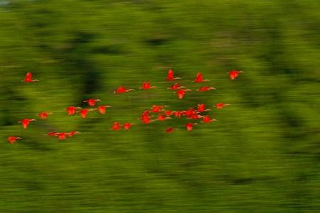 Large flock of Scarlet Ibis Eudocimus ruber returning to resting sleeping trees in evening. Long exposure photo, blured effect, Trinidad, exotic vacation in Caribic, Caroni swamp