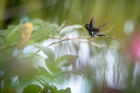 Hummingbird (Copper-rumped Hummingbird)  sitting on branch and stretching its wings, bird from caribean tropical forest, Trinidad and Tobago, beautiful tiny hummingbird, exotic adventure Banco de Imagens