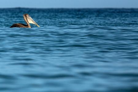 Fishing Brown Pelican, Pelecanus occidentalis floating on sea surface, Tobago island. Wildlife scene from Caribean nature, exotic adventure, marine bir with big beak