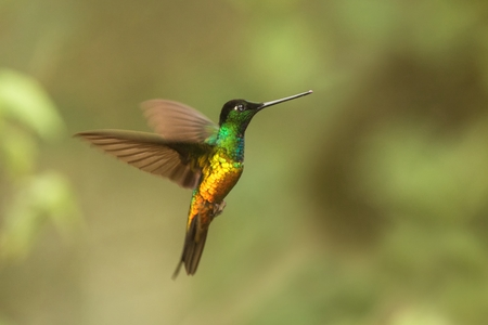 golden-bellied starfrontlet hovering in the air,tropical forest, Colombia, bird sucking nectar from blossom in garden,beautiful hummingbird with outstretched wings,wildlife scene,clear  background Zdjęcie Seryjne