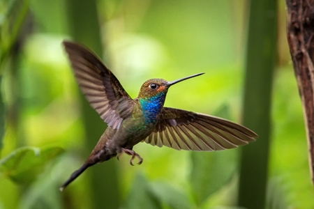 White-tailed hillstar hovering in the air, garden, tropical forest, Colombia, bird on colorful clear background,beautiful hummingbird with blue throat and outstretched wings,nature wildlife scene