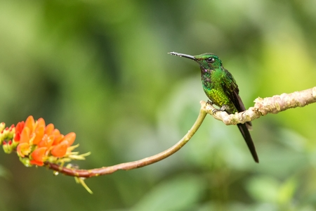 Empress brilliant sitting on branch with orange flower, hummingbird from tropical forest,Colombia,bird perching,tiny beautiful bird resting on flower in garden,clear background,nature scene,wildlife