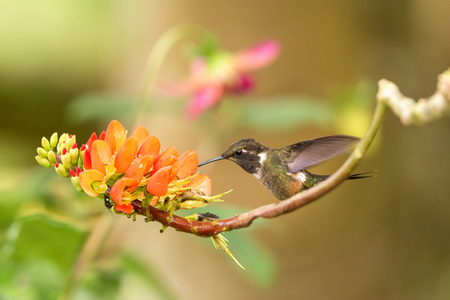 Purple-throated woodstar sitting on branch with orange flower, hummingbird from tropical forest sucking nectar from blossom,Colombia,bird perching,tiny beautiful bird resting on flower in garden Foto de archivo