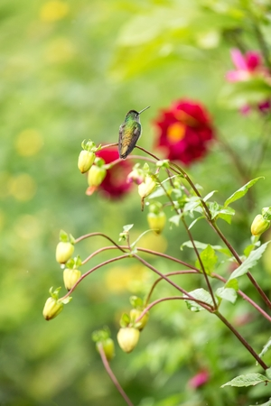 Andean emerald sitting on branch, hummingbird from tropical forest,Colombia,bird perching,tiny beautiful bird resting on flower in garden,colorful background with flower,nature scene,exotic adventure Foto de archivo