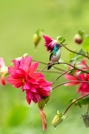Andean emerald sitting on branch, hummingbird from tropical forest,Colombia,bird perching,tiny beautiful bird resting on flower in garden,colorful background with flowers,nature scene,wildlife