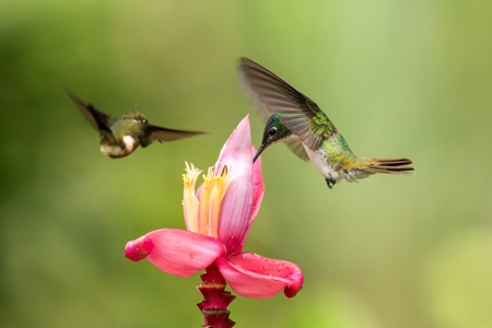 Two hummingbirds hovering next to pink flower,tropical forest, Colombia, bird sucking nectar from blossom in garden,beautiful hummingbird with outstretched wings,nature wildlife scene, exotic trip Foto de archivo