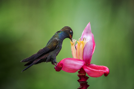 White-tailed Hillstar sitting and drinking nectar from favourite red flower. Animal behaviour. Colombia,hummingbird from mountain rainforest,beautiful bird in garden,wild nature,exotic adventure trip