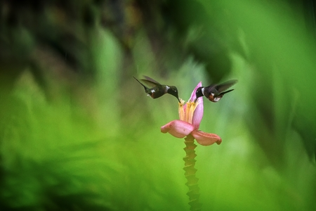 Two hummingbirds hovering next to orange flower,tropical forest, Ecuador, two birds sucking nectar from blossom in garden,beautiful hummingbird with outstretched wings,nature wildlife scene, exotic Foto de archivo