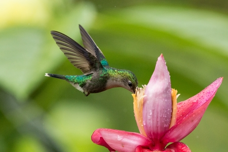 Hummingbird hovering next to pink and yellow flower, garden,tropical forest, Colombia, bird in flight with outstretched wings,flying hummingbird sucking nectar from blossom,exotic travel adventure Zdjęcie Seryjne