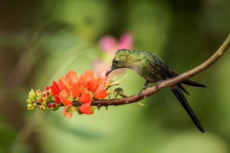 Hummingbird sitting on orange flower,tropical forest,Brazil,bird sucking nectar from blossom in garden,bird perching on plant,nature wildlife scene,canimal behaviour,exotic adventure,environment