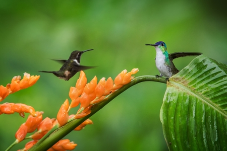 Hummingbirds hovering next to orange flower and another bird sitting on leave,tropical forest,Ecuador,bird sucking nectar from blossom in garden,hummingbird with outstretched wings,wildlife scene Stockfoto