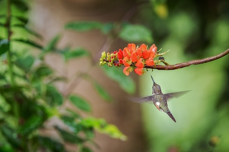 Purple-throated woodstar hovering next to orange flower,tropical forest, Peru, bird sucking nectar from blossom in garden,beautiful hummingbird with outstretched wings,nature wildlife scene Foto de archivo