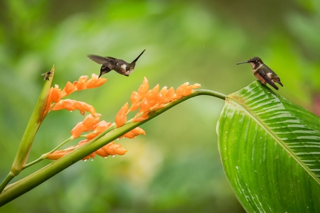 Hummingbirds hovering next to orange flower and another bird sitting on leave,tropical forest,Ecuador,bird sucking nectar from blossom in garden,hummingbird with outstretched wings,wildlife scene Foto de archivo