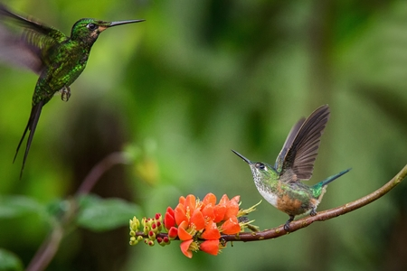 Hummingbirds in fight on orange flower,typical bird behaviour,tropical forest,Ecuador,birds on branch in garden,hummingbird with outstretched wings,wildlife scene from nature, exotic adventure