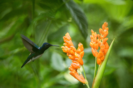 Hummingbird hovering next to orange flower,tropical forest,Ecuador,bird sucking nectar from blossom in garden,bird with outstretched wings,nature wildlife scene,clear background,exotic adventure