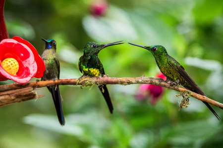 Three hummingbirds sitting on branch next to red feeder, hummingbird from tropical rainforest,Peru,bird perching,tiny beautiful bird resting on flower in garden,clear background,animal behaviour 写真素材
